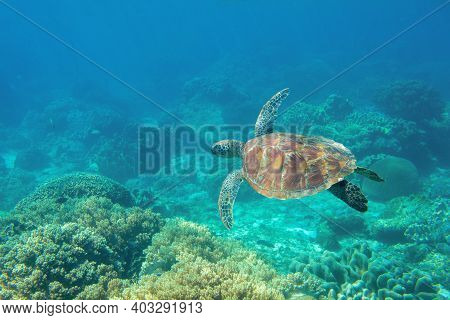 Sea Turtle In Blue Water, Underwater Coral Reef Photo. Cute Sea Turtle In Blue Water Of Tropical Sea