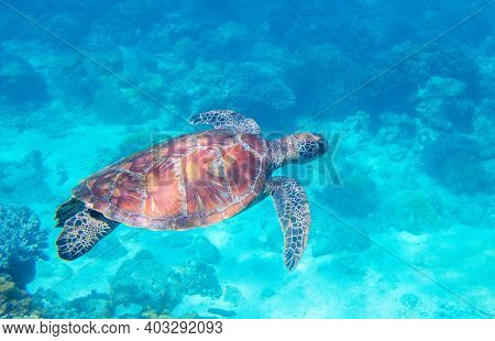 Sea Turtle In Blue Water. Green Turtle Underwater Photo. Wild Marine Animal In Natural Environment.
