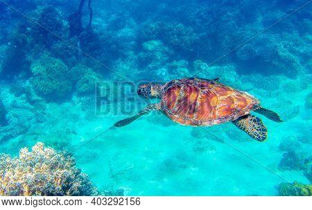 Sea Turtle In Blue Water. Green Turtle Underwater Photo. Wild Marine Animal In Natural Environment.