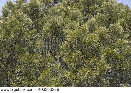 Shortleaf Pine (pinus Echinata). Called Shortleaf Yellow Pine, Southern Yellow Pine, Yellow Pine, Sh