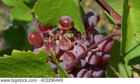 Juicy Pink Berries Of Ripe Grape Bunch Hanging Between Green Leaves On Grapevine In Vineyard. Viticu