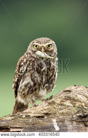 The Little Owl (athene Noctua) With Prey, Frog In Its Beak. An Owl With Prey On A Dry Branch. A Smal