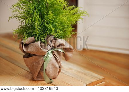 Green Conifer Plants In Modern Interior Room On Hardwood Floor. Beautiful Natural Home And Office De