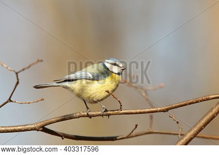Blue tit bird tree Nature pet branch twig Nature background sunrise Nature pet Nature background birdie pet Nature background birds Nature pet bluetit Nature pet titmouse Nature background autumn forest Nature background pet passerine Nature background.