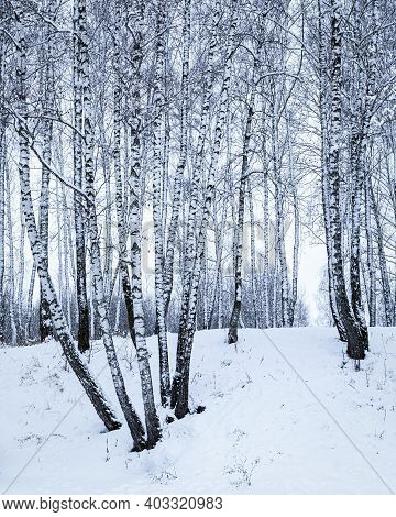 Birch Grove After A Snowfall On A Winter Day. Birch Branches Covered With Stuck Snow.