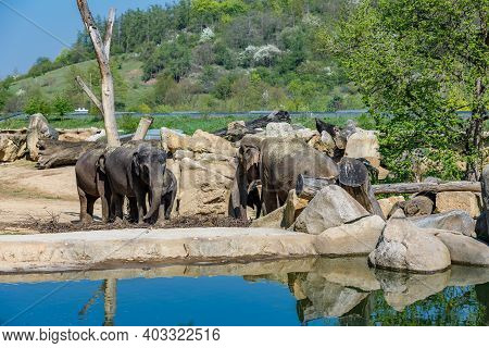 Herd Of Elephants In The Zoo Near The Pond. Elephants At The Watering Hole Looking For Food.