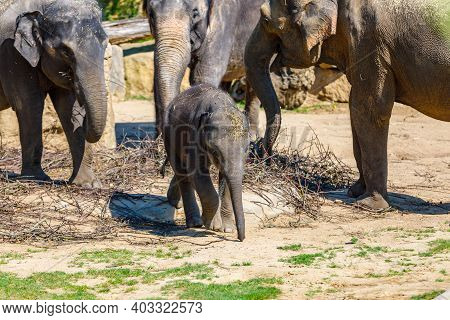 A Herd Of Elephants In The Zoo Feeds On Branches. The Baby Elephant Is Trying To Escape From Them.