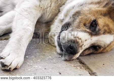 Еhe Dog Lies On The Concrete Pavement. Breed Central Asian Shepherd Dog (alabai)
