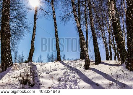 Birches On A Winter Night In The Moonlight. Birch Trunks Casting Shadows.