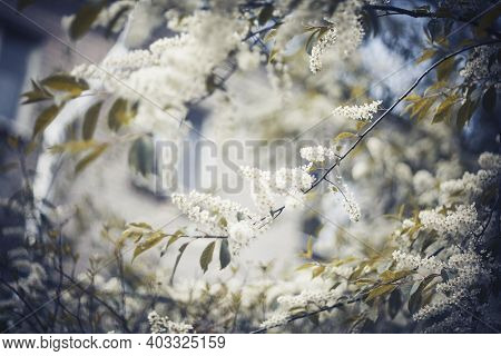 Lush Cherry Blossom. Branches With White Flowers. Branch Of The Blossoming Bird Cherry In The Spring