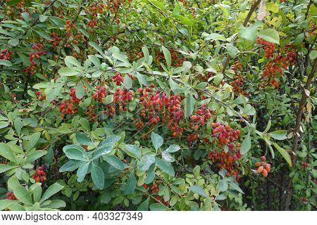 Leafage And Red Berries Of Berberis Vulgaris In September