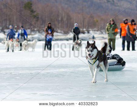 Mushing At Baikal Fishing 2012