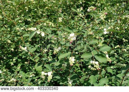 Florescence Of Common Snowberry Bush In July
