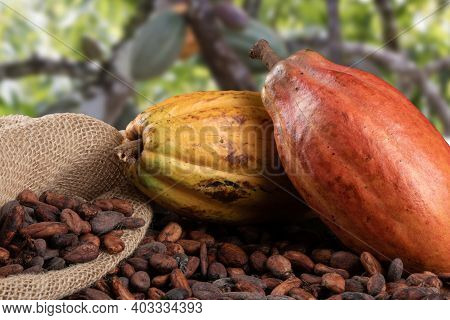 Cocoa Fruits And Raw Cocoa Beans With Defocused Cocoa Plantation In The Background