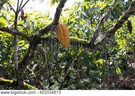 A Cocoa Tree With Cocoa Pods At Cocoa Plantation. Ilhéus, Southern Bahia, Brazil