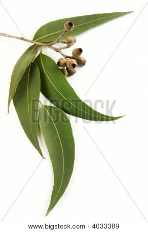 Gum Leaves