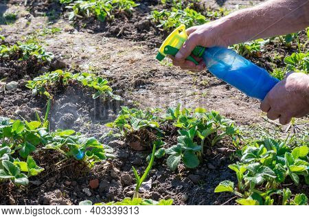 Gardener Is Spraying Young Strawberry Seedlings By Bordo Mix Made Of Copper Sulphate And Slaked Lime