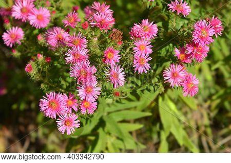 New England Aster Andenken An Alma Potschke - Latin Name - Symphyotrichum Novae-angliae Andenken An
