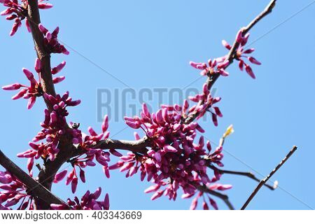 Eastern Redbud Cascading Hearts - Latin Name - Cercis Canadensis Cascading Hearts