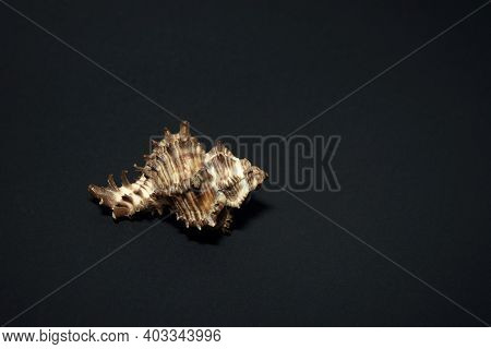 Large Sea Shell Of Gastropods On A Black Background.