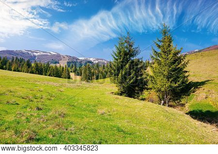 Carpathian Countryside In Springtime. Landscape With Fir Trees On The Meadow Covered With Fresh Gree