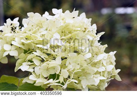 Close-up Of A White Hydrangea In Daylight. Beautiful Blooming White Hydrangea (hydrangea Arborescens