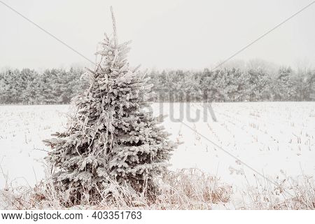 Pretty Pine Tree Covered In Rime Ice Frost In Winter In Minnesota