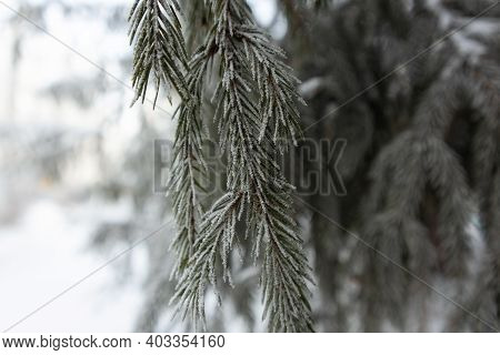 Christmas Snow Trees. Snow Fir Trees In Winter Forest. Christmas Fir Branch In Snow Close Up. Sun Sh