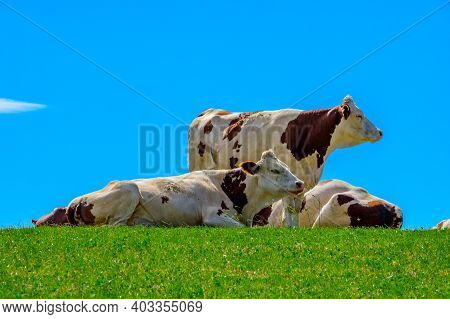 Producing Of Comte Cheese In Lower Jura, France, Montbeliards Or French Simmental Cows Herd Grazing