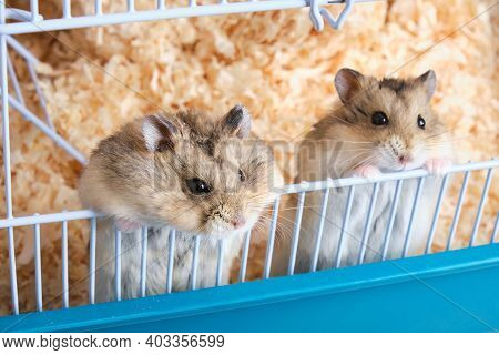 Two Cute Dzungarian Hamsters Peeking Out Of A Cage With Sawdust