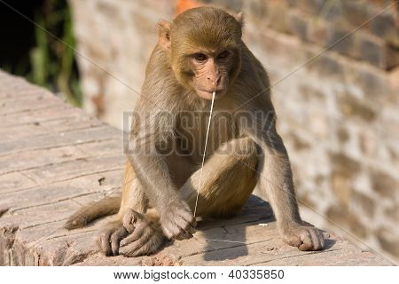 Macaque Monkey