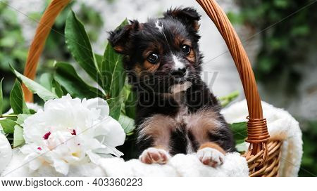 Black Puppy Dog Sits In Basket On Background Of Green Nature. Happy Dog Pooch, Not Purebred On White