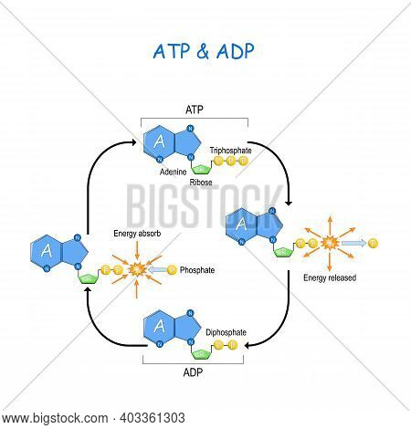Atp Adp Cycle. Intracellular Energy Transfer. Energy Absorb And Energy Released In A Cell. Adenosine