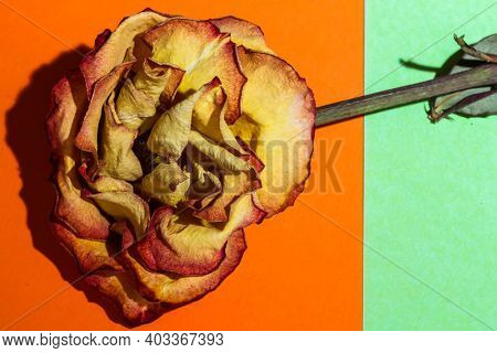 Yellow and red colored dry rose on colored background table top view