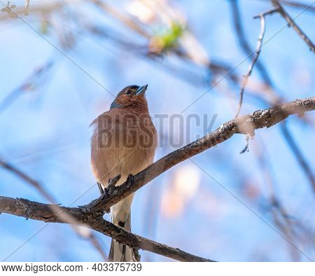 Common Chaffinch Sits On A Branch In Spring On Blue Sky Background. Beautiful Forest Bird Common Cha