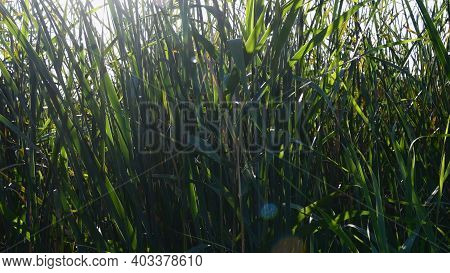 Bright Sunlight With Lens Flares Shine Through Shaking Cattail Thicket Of Overgrown Lake Shore. Rela