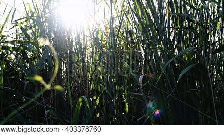 Blurry Bright Sunlight With Lens Flares Shine Through Tangled Reeds Of Overgrown Lake Shore. Relaxin