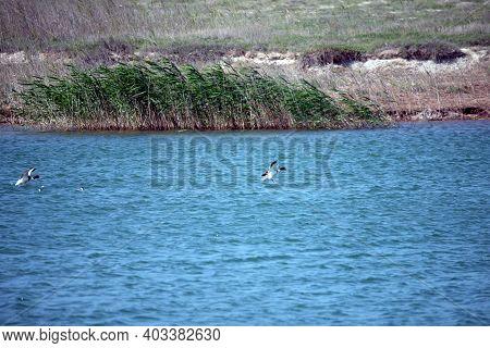 Shelduck, Tadorna Tadorna Landing On A Water