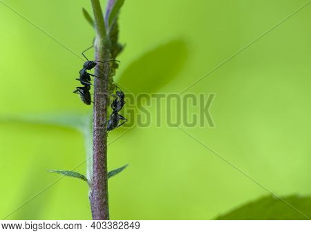 Two Ants On A Twig On A Green Background. Macro Of Two Black Ants Climbing A Tree Branch On A Green