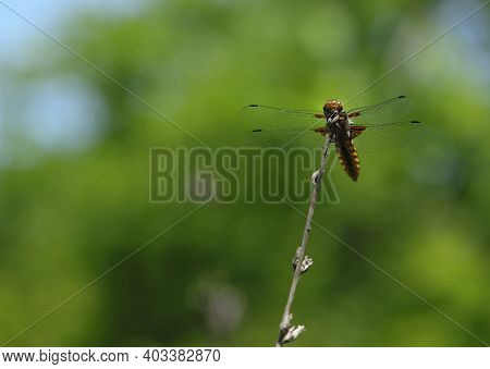 Dragonfly Libellula Depressa Sits On A Dry Branch Against A Bright Blurred Green Background. Chaser