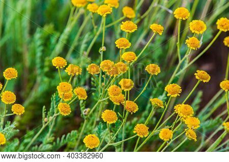 Yellow Flower Of Tanacetum Vulgare Or Tansy In Natural Background. Medicinal Plants In The Garden