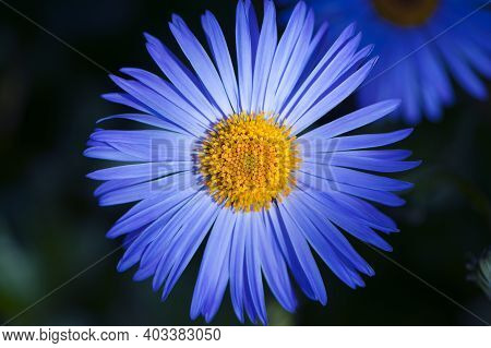Blue Daisy Flower Close-up. A Close Up Of Wet Violet-lavender Flower Of Aster Alpinus The Alpine Ast