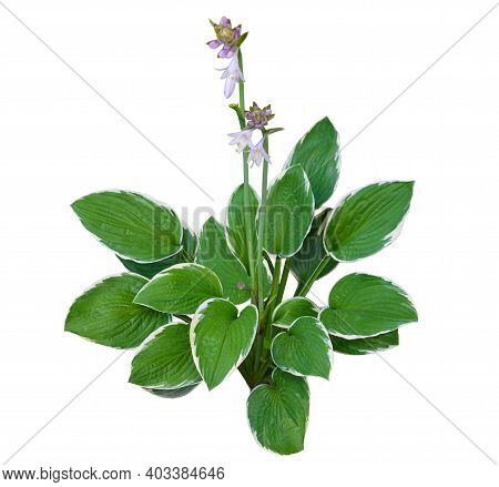 The Host Of The Flower Grows On The Ground. Flowering Plants Host