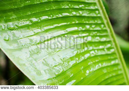 Banana Leaves Background. A Drop Of Rain On A Green Banana Leaf. Green Trees Are Natural. Wallpaper