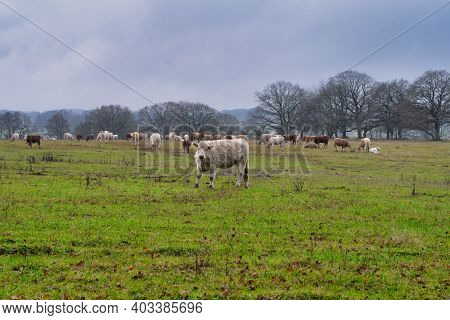 Cows Grazing At A Moor. Picture From Revingehed, Scania County, Sweden