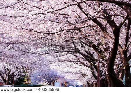Magnificent tunnel of cherry blossoms over a city street traffic. Cherry blossoms in full bloom on a sunny day.
