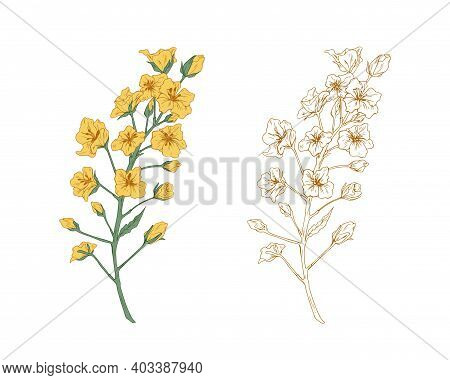 Colorful Yellow Canola Flower And Sketch Of Rapeseed. Two Floral Branches Of Rape Plants. Contoured