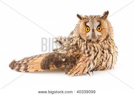 A Bird With A Broken Wing (long-eared Owl, Asio Otus)