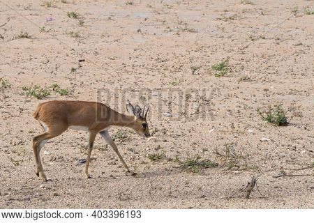 Male Steenbok (raphicerus Campestris) Ram Antelope Walking Through The Dry Bushveld In Kruger Nation