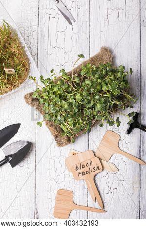 Microgreen Radish Sprouts Healthy Eating Concept. Vegan Micro Arugula Greens Shoots, Micro Watercres